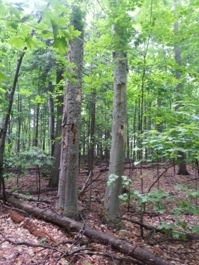 bark peeling off of trees killed by beech bark disease